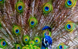 Beautiful Peacock Tail