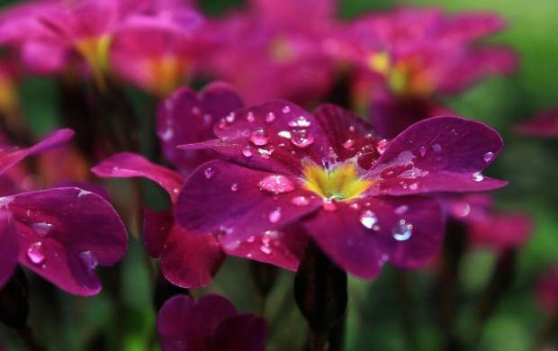 Beautiful Pink Pansies (click to view)