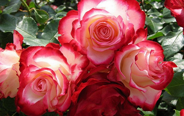 Beautiful Pink Roses (click to view)