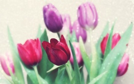 Beautiful Red And Purple Tulips Flowers