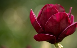 Beautiful Red Magnolia