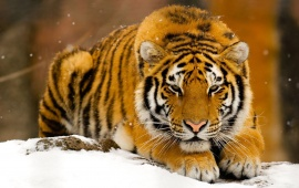 Beautiful Siberian Tiger