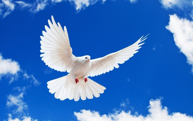 Beautiful White Dove (click to view)