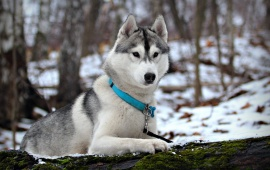 Beautiful White Husky Dog