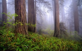 Beauty California Morning Forest