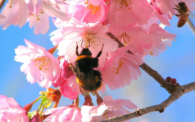 Bees In The Cherry Tree (click to view)