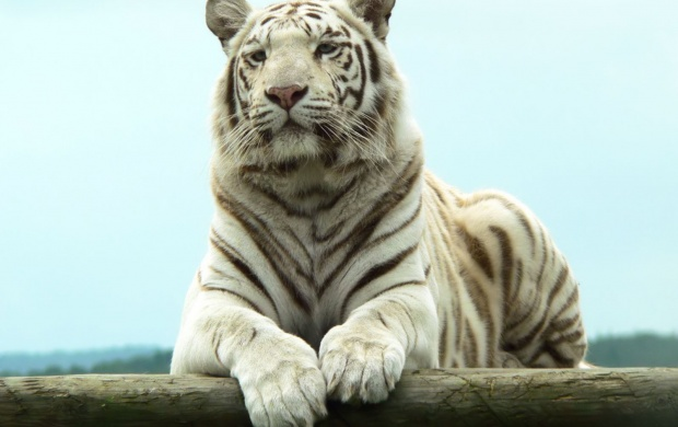 Bengal White Tiger (click to view)