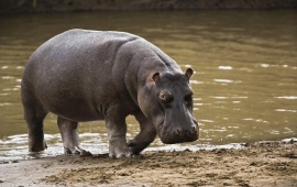 Big Hippopotamus