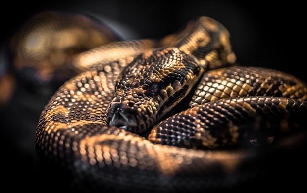 Hd Wallpaper Of Black Snake: Big Pythons Snake Wallpapers