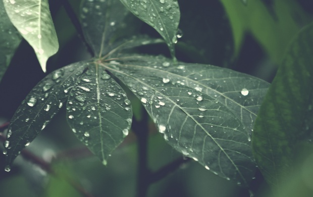 Big Rain Drops on Leaf (click to view)