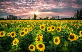 Big Sunflower Field