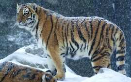 Big Tiger In Snow
