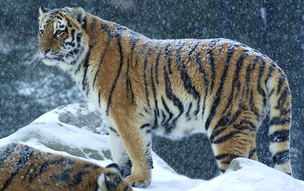 Big Tiger In Snow (click to view)