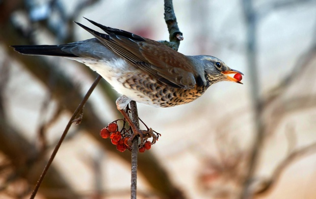 Bird Eating Red Berries (click to view)