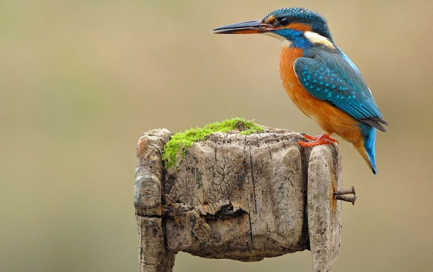 Bird Kingfisher Colours (click to view)