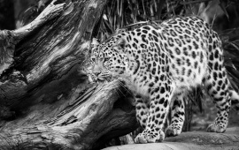 Black And White Wild Leopard