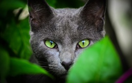 Black Cat Green Eyes Color