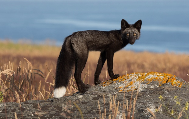 Black Fox On The Rocks (click to view)