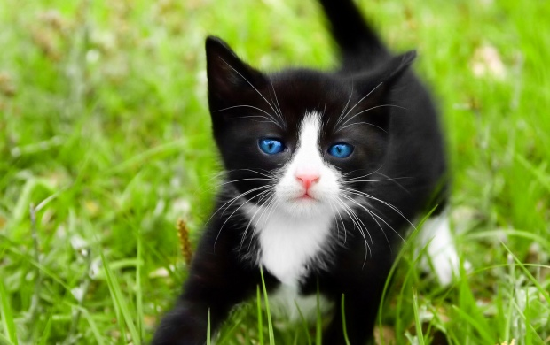 Black Kitten Playing in the Grass (click to view)