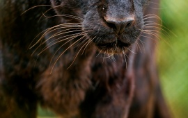 Black Leopard Looking At Me