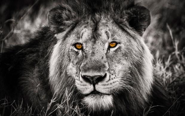 Lion Hd Wallpapers Free Wallpaper Downloads Lion Hd Desktop