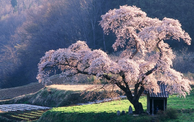 Blossomed Cherry Tree (click to view)