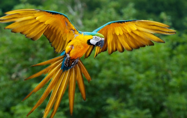 Blue And Yellow Macaw (click to view)