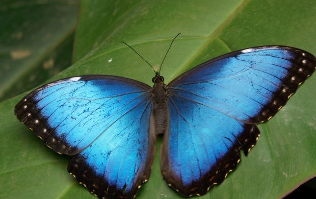 Blue Butterfly (click to view)