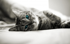 Blue Cat Eyes Lying In Bed