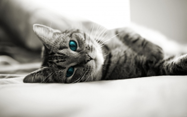 Blue Cat Eyes Lying In Bed (click to view)