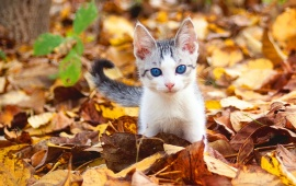 Blue Eyes Fall Kitten
