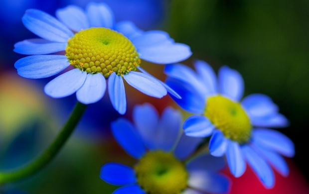 Blue Flowers Petals Plant Nature (click to view)