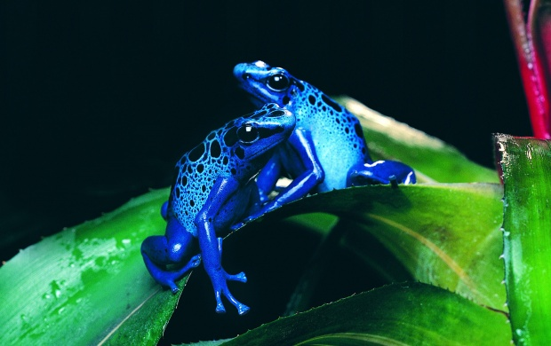 Blue Frog (click to view)