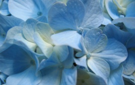 Blue Hydrangea Flower, Close-up View