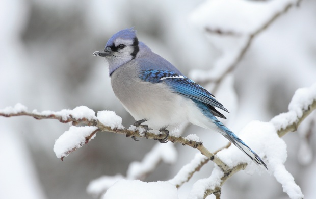Blue Jay In Snow (click to view)