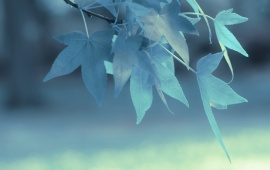 Blue Leaves On Branch