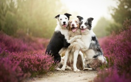 Border Collies Friends Dogs
