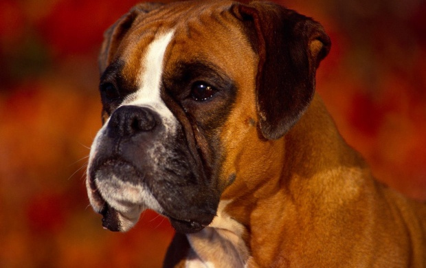 Boxer Dog (click to view)