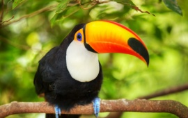 Branch Toucan Bird