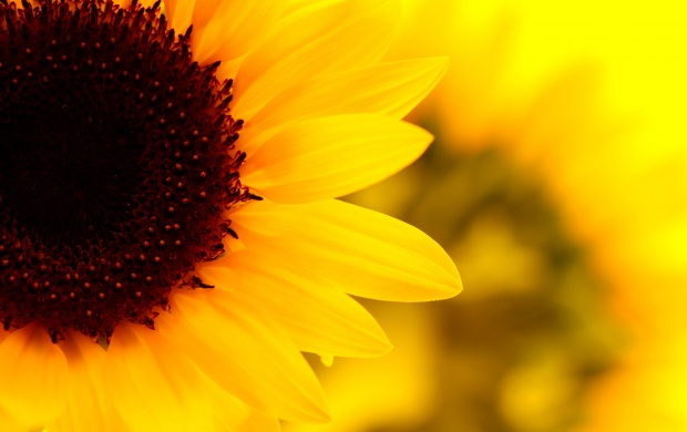 Bright Yellow Sunflower (click to view)