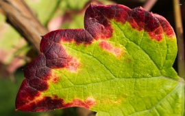 Brown and Green Grape Leaf