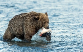 Brown Bear With Salmon Catch