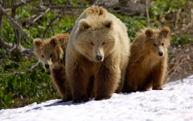 Brown Bears (click to view)