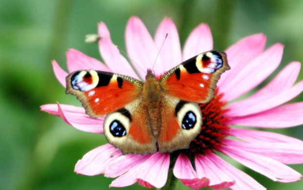 Butterfly On Pink Flower (click to view)