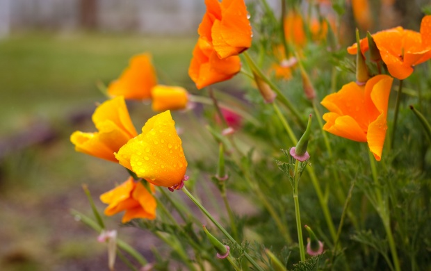 California Poppies (click to view)