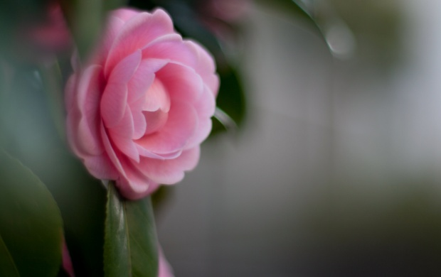 Camellia Pink Flower (click to view)