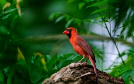 Cardinal In Tree Branch