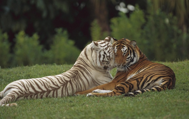 Casal de Tigers (click to view)
