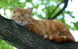 Cat Sleeping on Tree Branch