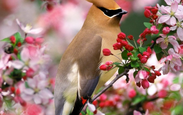 Cedar Waxwing (click to view)